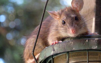 Who's afraid of the big bad rat?